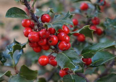 HOLLY TREE FOREST